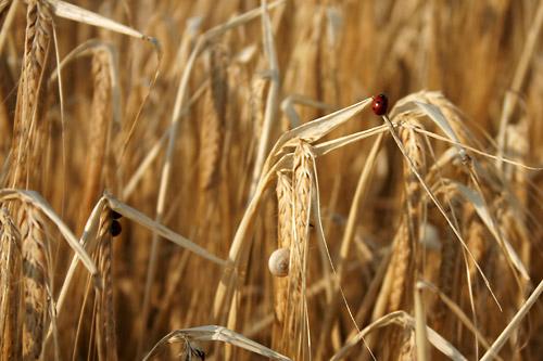 Les coccinelles au services des cultures de blé